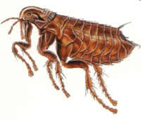 Bed Bugs On Cats Difference Between Fleas And Bedbugs Fleas Vs Bedbugs