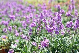 Catnip Flower - 15 wild plants that could save your life u2014 gray line alaska blog