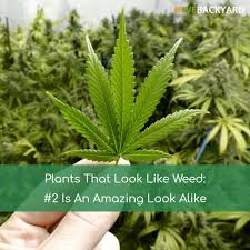 native pot plants plants that look like weed 2 is an amazing look alike oct 2017