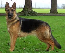 belgian sheepdog vs german shepherd big german shepherds schutzhund german shepherds