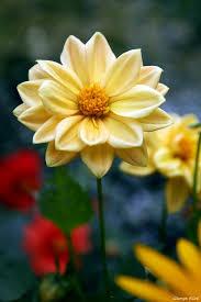 Pretty Plants by 376 Best Dahlias D Images On Pinterest Flowers Pretty Flowers