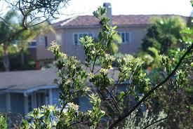 san diego native plant society a california native plant garden in san diego county manzanita
