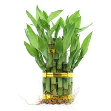 high quality low cost lucky bamboo succulents fairy garden