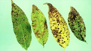 about cherry leaf spot in cherry tree how to prevent