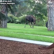 abc news moose wrestles with a tire swing in a backyard