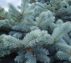 everything about growing blue spruce tree blue spruce care