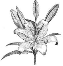 fiori disegni 10 best fiori disegni images on botanical illustration