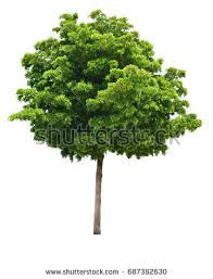 green tree stock images royalty free images vectors
