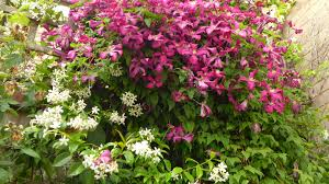 clematis or for trellis gardening forum gardenersworld com