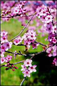 125 best cherry blossom trees in spring images on pinterest