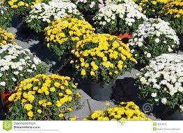 flower pots with chrysanthemum plants stock photography image