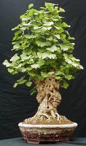 101 best buy bonsai trees buy unique bonsai trees miami images