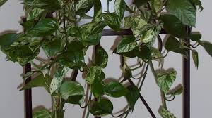 plant indoor vine plants pleasing types of vine houseplants