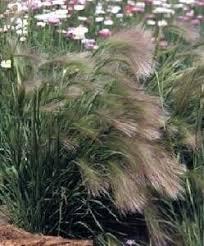 best 25 foxtail grass ideas on barley seeds
