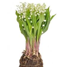Lily Vases Wholesale Uk Wholesale Lily Of The Valley Guide U0026 Wedding Flower Guides Uk