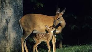 Pennsylvania wild animals images What kind of deer are in pennsylvania animals mom me jpg