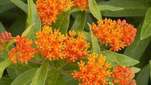native nz plants plants orange flower plant images orange flowering bushes