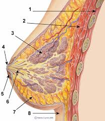 Anatomy Of Reproductive System Female The Female Reproductive System Boundless Anatomy And Physiology