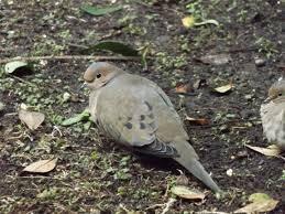 feed or foes livestock can be trained to eat the nuisance plants north america jay u0027s nature blog
