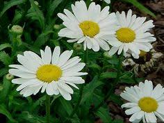 Daisy The Flower - hardy dianthus is one of the best perennials for our area its low
