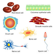 the human cell diagram gallery diagram writing sample ideas and