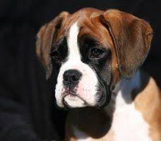 boxer dog youtube ralph the boxer dog youtube i m crazy about boxerdog and