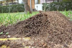 how to get rid of fire ants homesteading and livestock fire