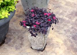 Patio Plants For Sun Overwintering Pretty Potted Perennials And Shrubs Proven Winners