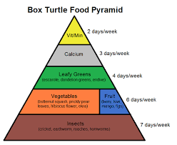 box turtle food pyramid complete critter