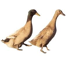 where to buy duck where to buy khaki cbell ducks efowl
