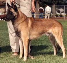 belgian sheepdog registry history u0026 description of the belgian malinois