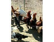 cerco animali da cortile animali da cortile in vendita liquida annunci