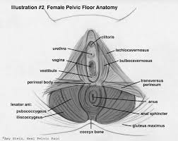 Male Anatomy Perineum Anatomy Of The Pelvic Floor Beyond Basics Physical Therapy New