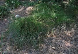 native plants at csu dominguez artemisia californica common names california sagebrush coastal