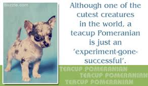 excellent information about the pomeranian husky mix pomsky breed