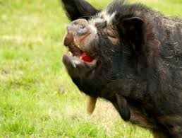 pigs u2026 u2026 wee wee wee wee