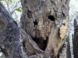 tree face wicked tree mangrove explorer