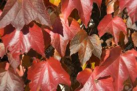 virginia creeper in autumn colors beautiful climbing plant