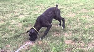 boxer dog reverse brindle sadie the reverse brindle boxer playing water youtube