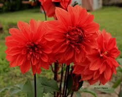 23 best red flowers images on pinterest red flowers beautiful