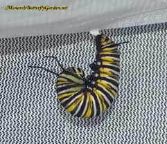 10 common monarch diseases parasites caterpillar killers