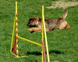 Backyard Agility Course Dog Agility Equipment Selection Guide For Proper Training Hellow Dog