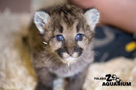 orphaned cougar cubs from washington move to toledo zoo