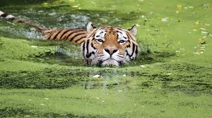 tiger swimming ngsversion 1467295893295 adapt 1900 1 jpg