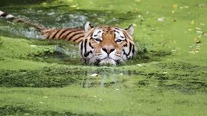 november birth animal tiger swimming ngsversion 1467295893295 adapt 1900 1 jpg