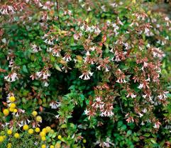 arbuste feuillage pourpre persistant abélia planter et cultiver u2013 ooreka
