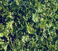 san diego master gardeners vegetable planting guide peas