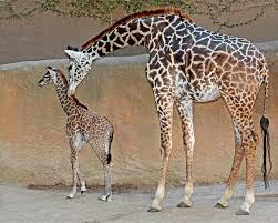 la zoo turns 50 u2014 and delivers a baby giraffe 89 3 kpcc
