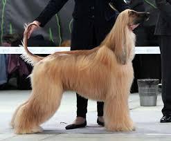 afghan hound times afghan hound kennel