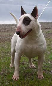 american pitbull terrier white with black spots english bull terrier standard u0026 miniature